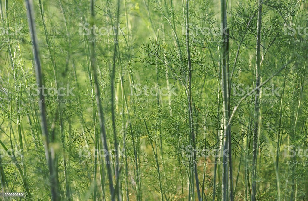 Garden dill is like a grove stock photo