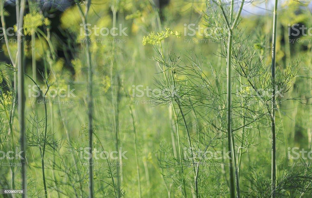 Garden dill stems stock photo