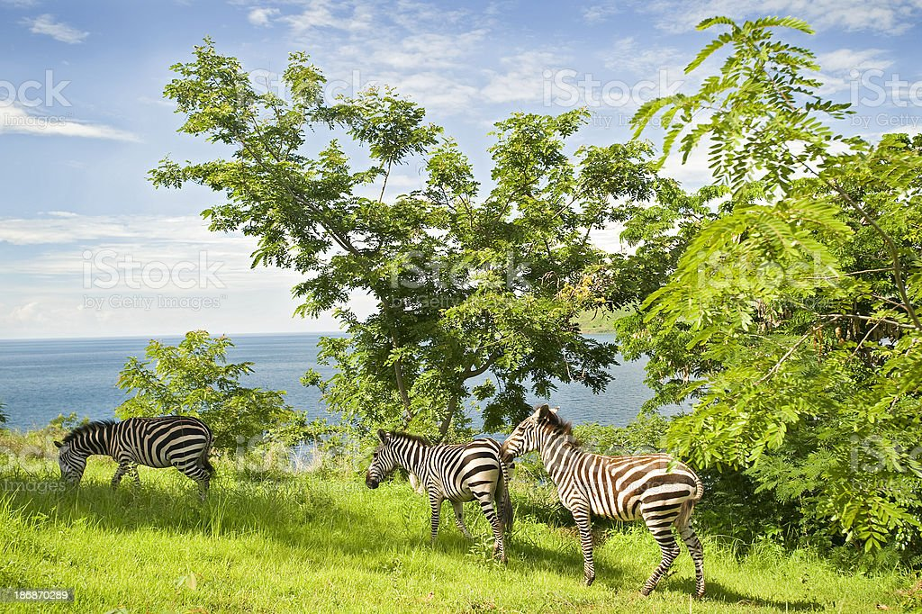 Garden Eden: Zebras at the shore of Lake Tanganyika stock photo