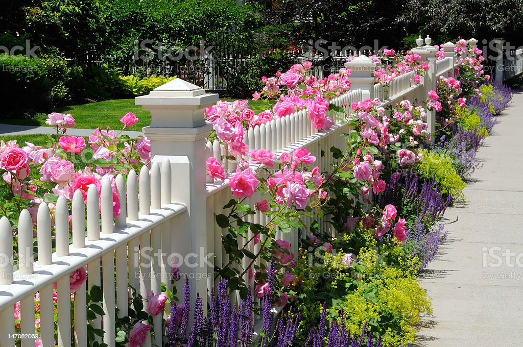 Garden Fence, Pink Roses stock photo