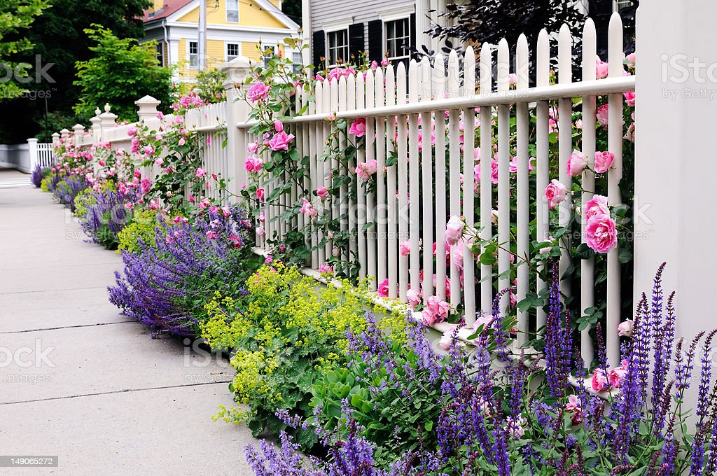 Garden Fence, Pink Roses, Sage stock photo