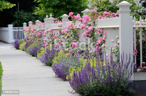 White fence with flowers. Pink rose, blue Salvia (Sage), purple Catmint, green and yellow Lady's Mantel. Colorful and elegant.