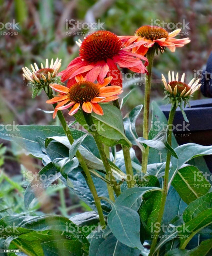 Photo libre de droit de Fleur De Jardin En Octobre banque d ...