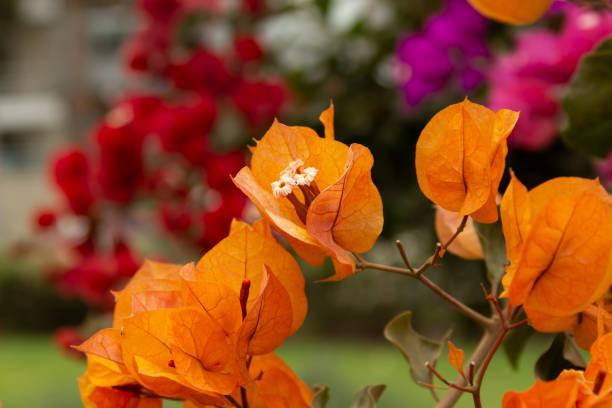 花園花卉 - 布干維拉斯圖像檔