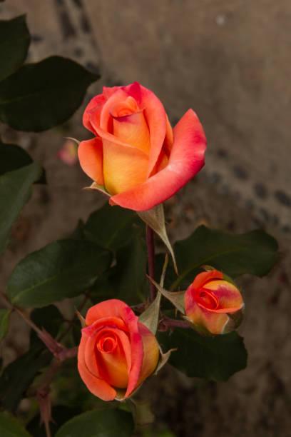 花園花 - 火玫瑰圖像檔