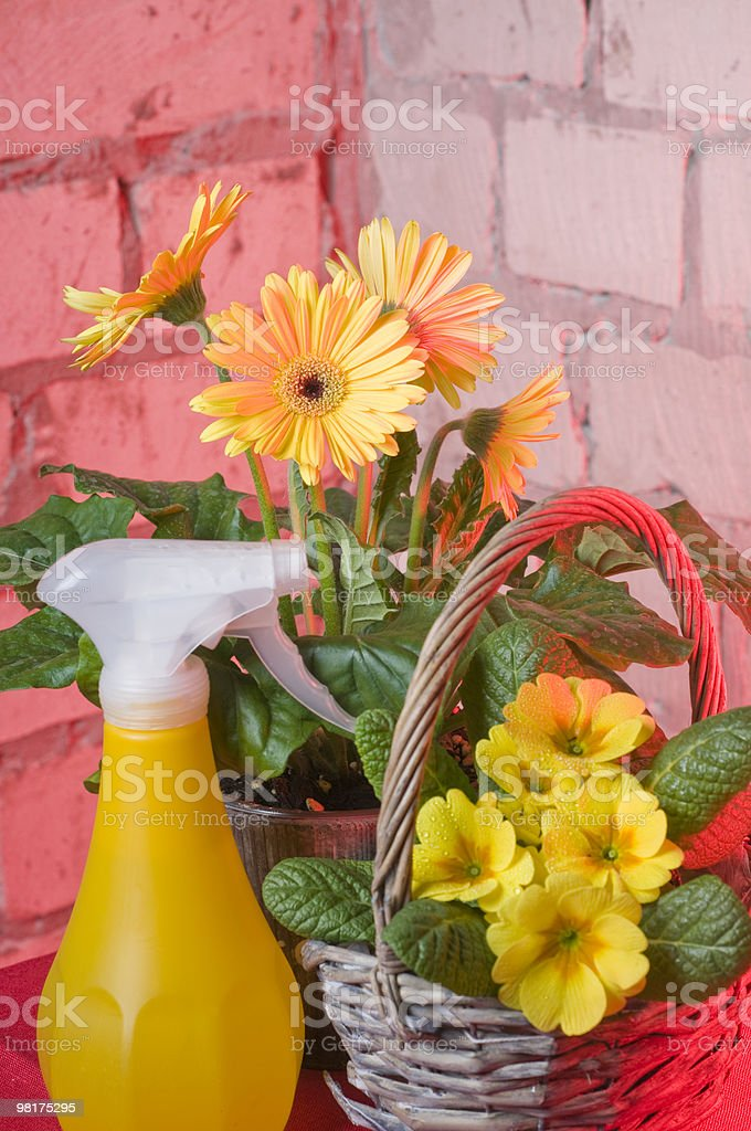 Garden flowers in pots royalty-free stock photo
