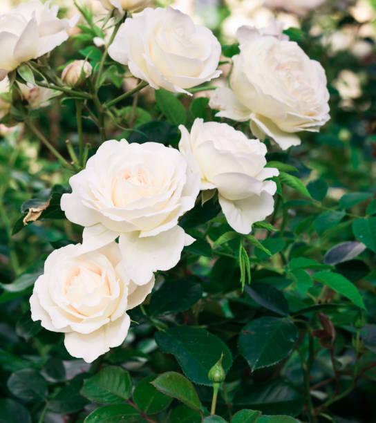 Gartenblüten und Blumen. Leichte rosa Rosen – Foto