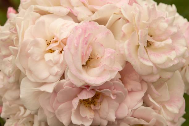 花園花卉 - 玫瑰混合圖像檔
