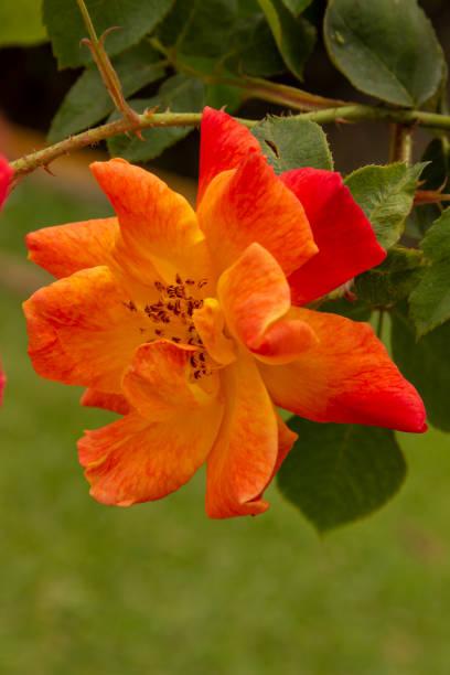 花園花 - 五彩玫瑰圖像檔
