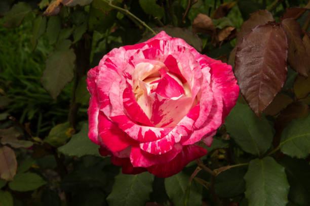 花園花 - 秘魯玫瑰圖像檔