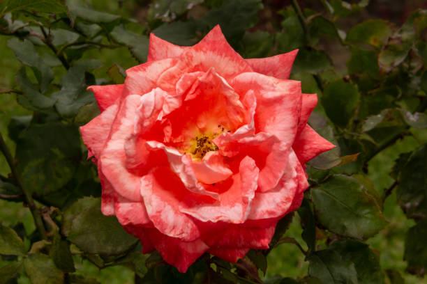花園花 - 粉紅色玫瑰圖像檔