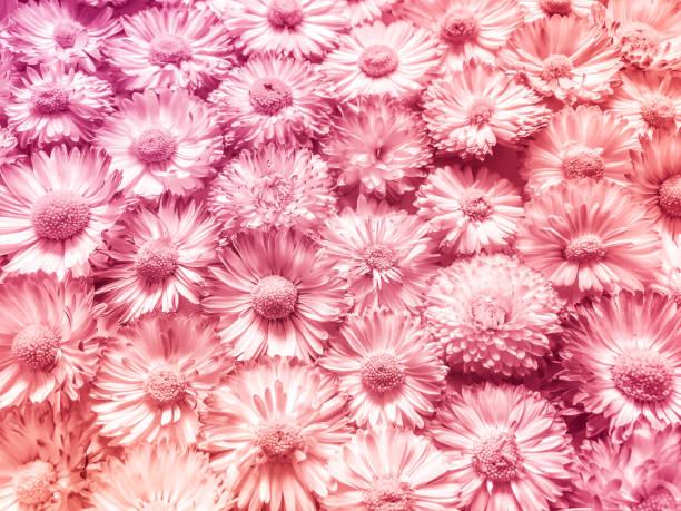 Gartenblumen. Rosa weiße Daisies. Vintage-Floral-Hintergrund. Tonbild im Retro-Stil – Foto