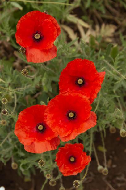 花園花卉 - 罌粟圖像檔