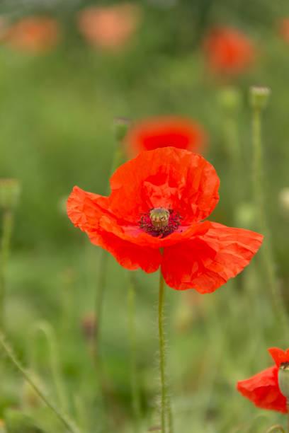 花園花卉 - 紅色罌粟圖像檔