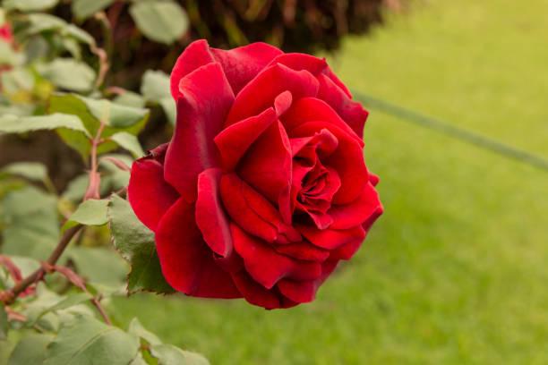 花園花 - 紅玫瑰圖像檔