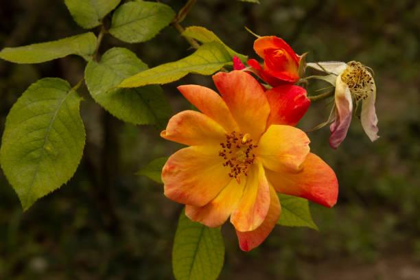 花園花 - 玫瑰圖像檔
