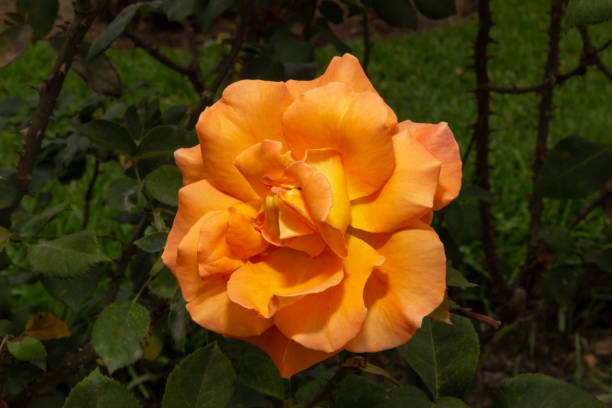 花園花 - 鮭魚玫瑰圖像檔