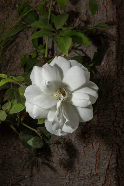 花園花 - 白玫瑰圖像檔