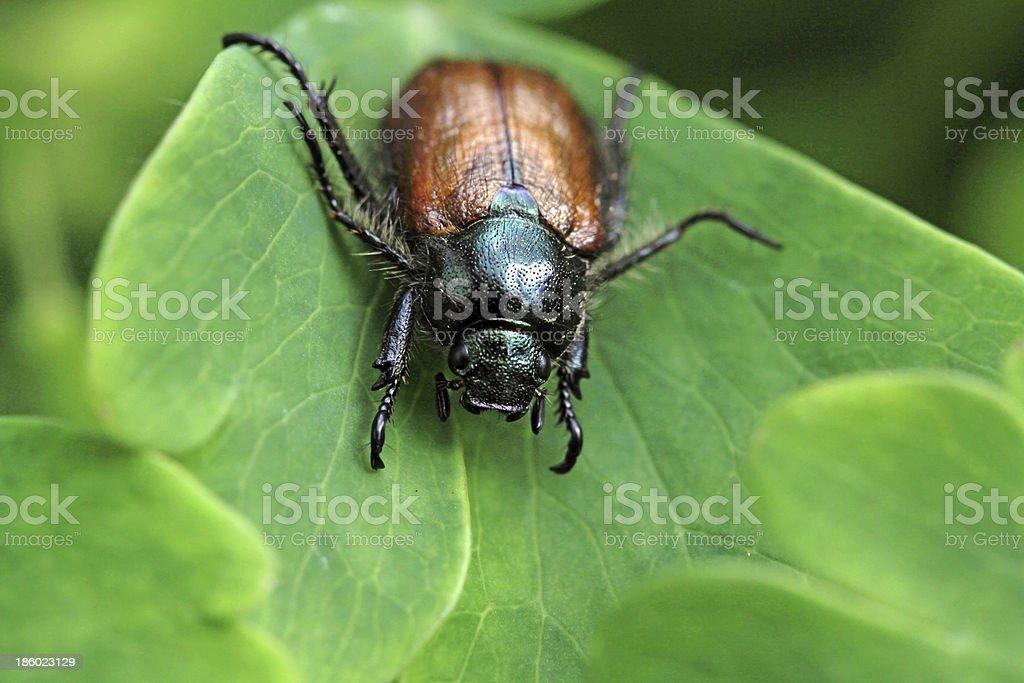 Garden foliage beetle stock photo
