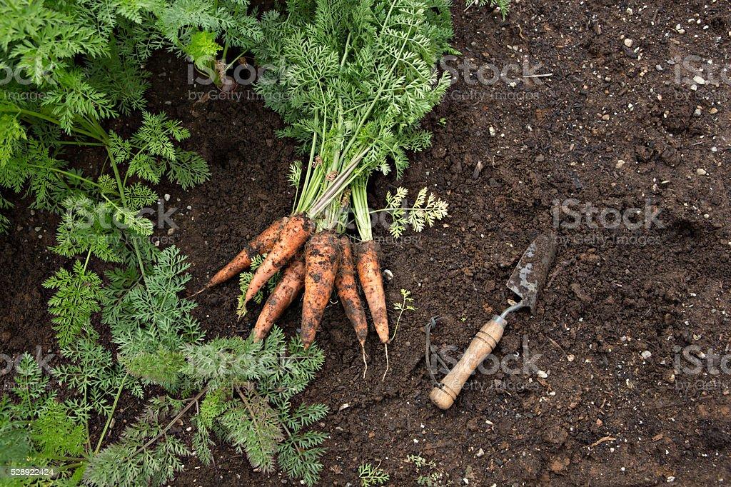 Garden Fresh Carrots stock photo