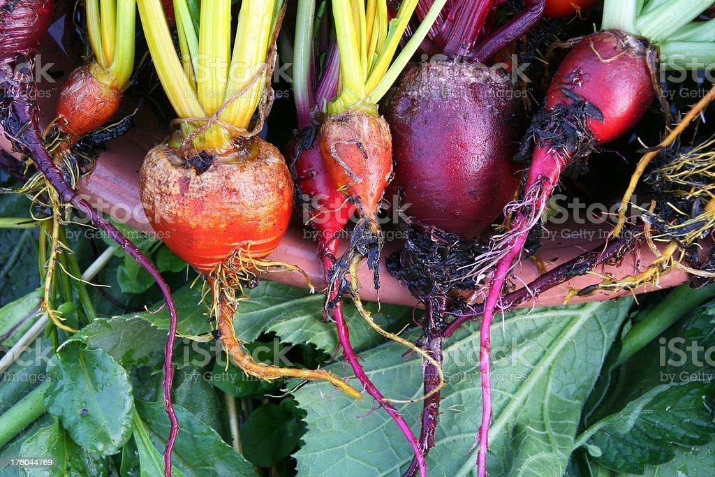 Garden Fresh Organic Beets stock photo