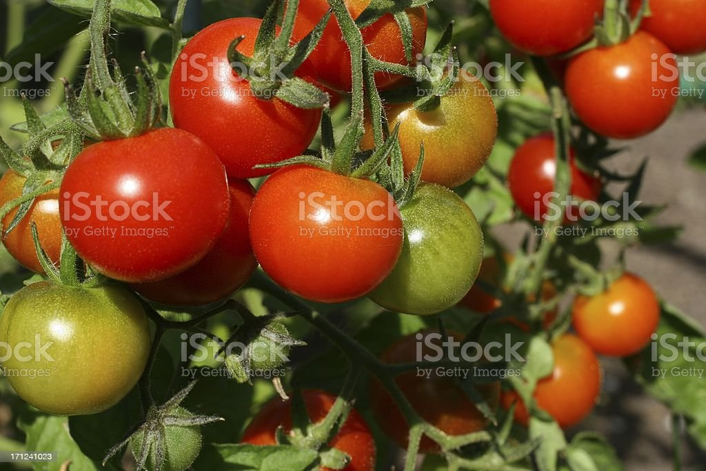Garden Fresh Tomatoes stock photo