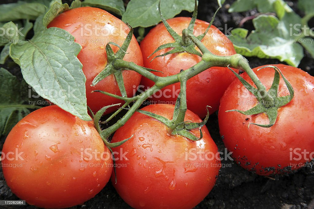 Garden Fresh Tomatoes Red vine-ripened tomatoes in a garden Close-up Stock Photo
