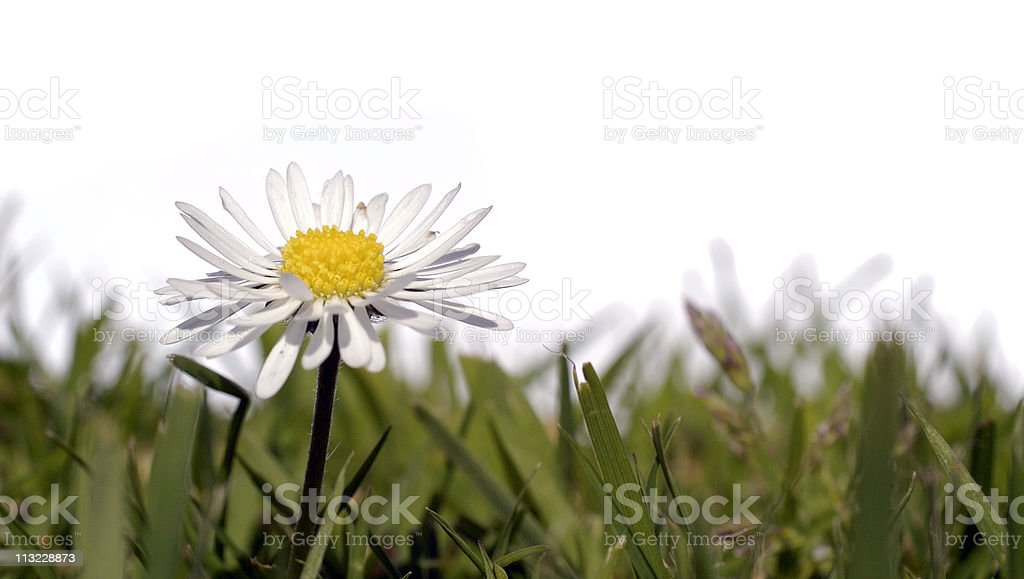 garden grass with single daisy white background royalty-free stock photo