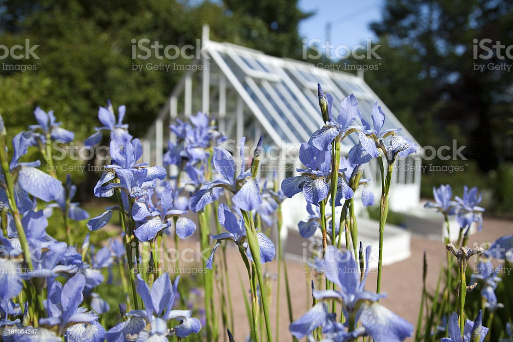 Garden Greenhouse and Iris Flowers royalty-free stock photo