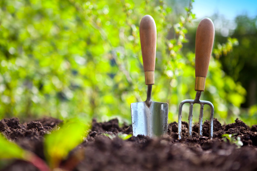 Garden hand trowel and fork standing in soil in a vegetable garden, with colourful gooseberry bushes behind.