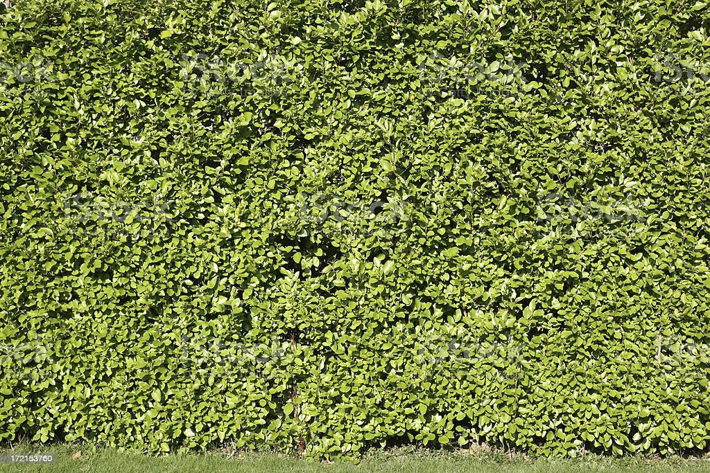 Garden hedge with fast growing ivy.