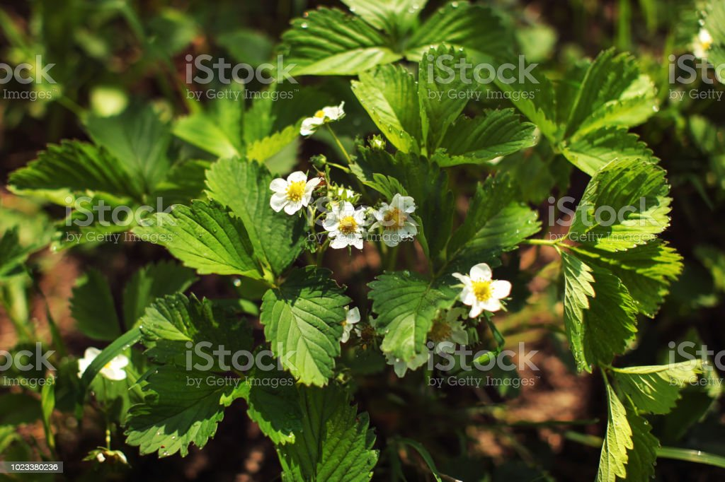 Cтоковое фото Garden in spring - strawberry flowers (Fragaria × ananassa) and leaves wet from dew.