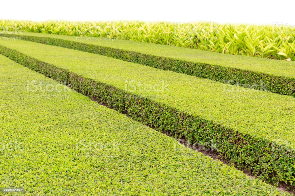 Garden in Summer with Green Bush Neatly Cut in Long Rows stock photo