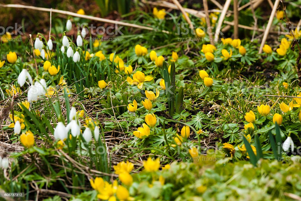 Garden in the spring with eranthis flowers stock photo
