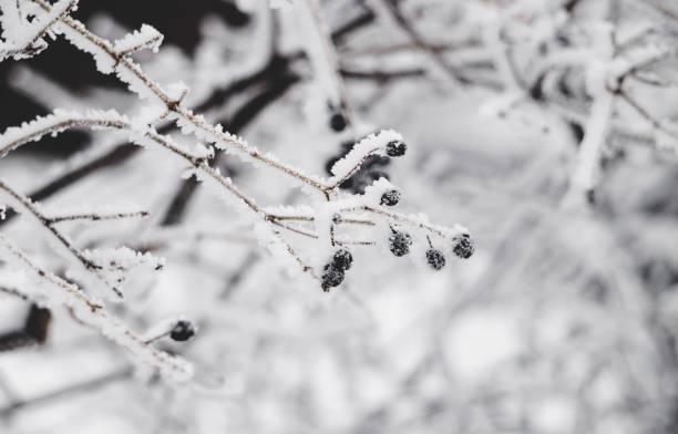 Garden in winter. Black wolf berries ストックフォト