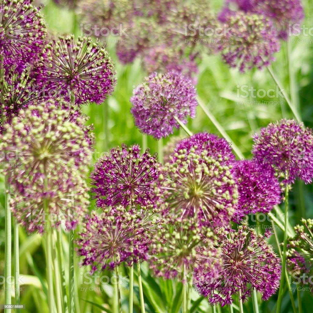 Garden leek, allium stock photo