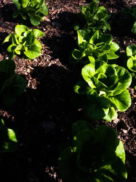 Garden lettuces in morning light stock photo