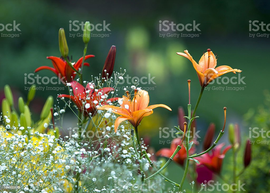 Garden Lillies royalty-free stock photo