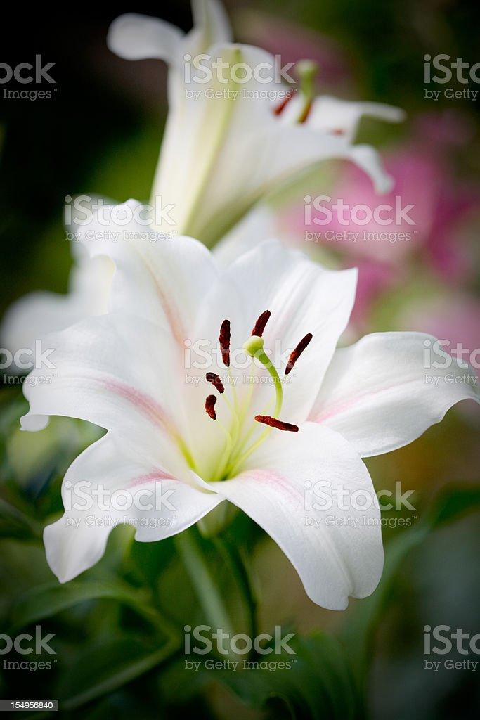 garden lily royalty-free stock photo