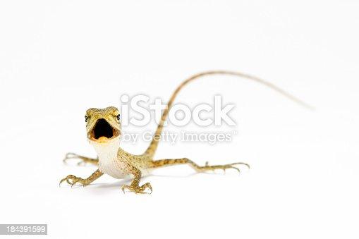 "Oriental garden lizard (Calotes versicolor) , Eastern garden lizard , Changeable lizard or ""Blood sucker"" (juvenile) on white background"