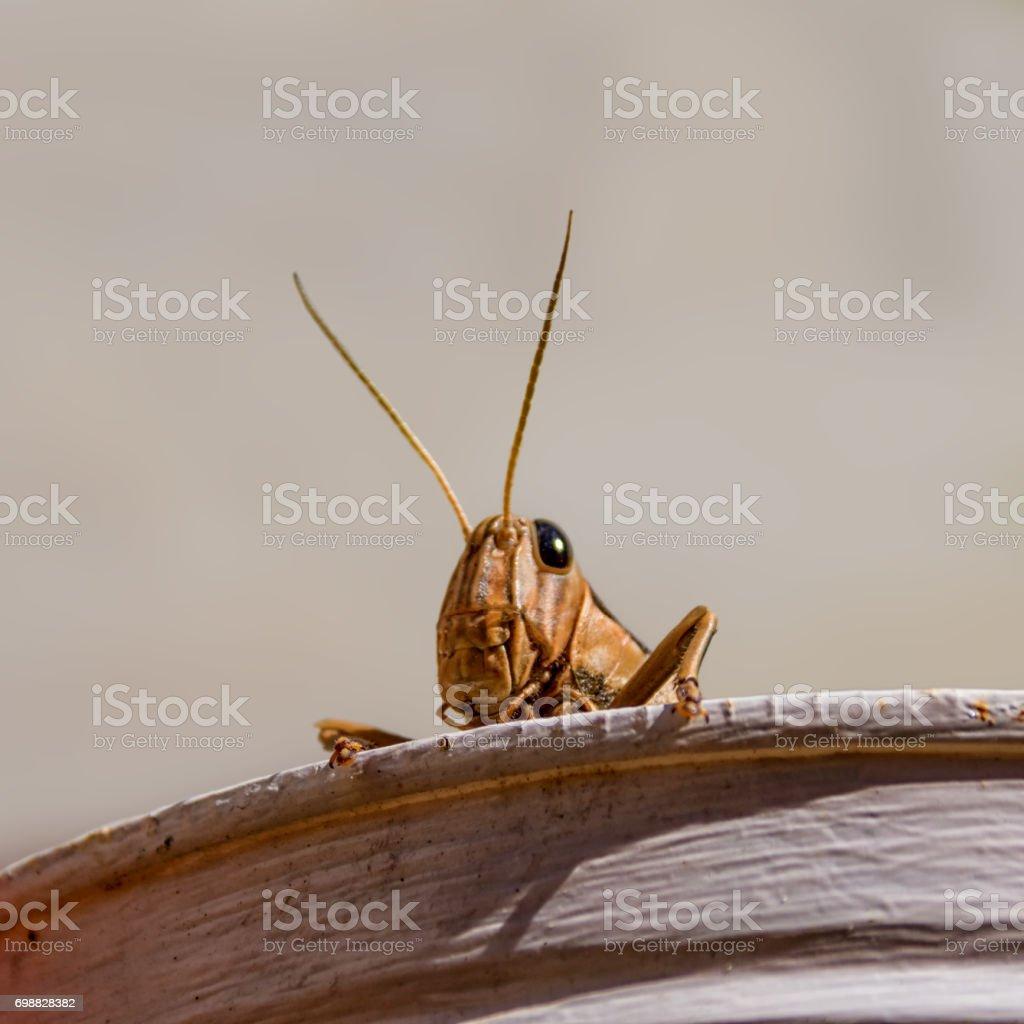 Garden Locust (Acanthacris ruficornis) stock photo