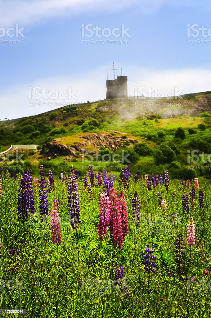 Garden lupin flowers at Signal Hill stock photo
