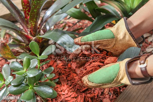 Garden maintenence in Spring. Person in Gardening gloves covering the garden with red cear woodchip mulch.