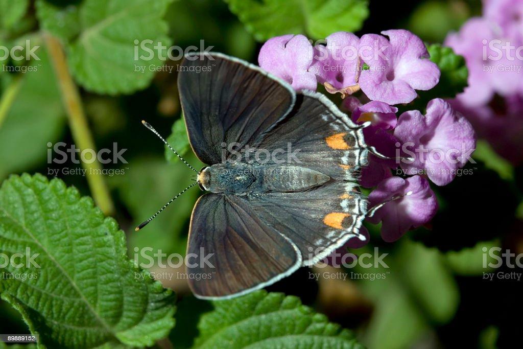 Garden Moth royalty-free stock photo