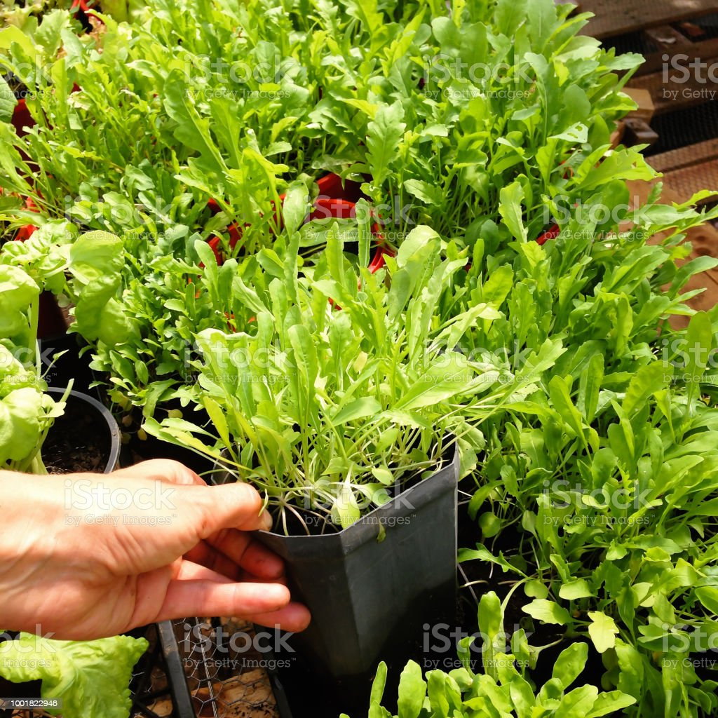 Garden nursery: hand holding plastic plant pot of Arugula or Rocket - also known as Rucola, Rugula, Colewort and Roquette salad stock photo