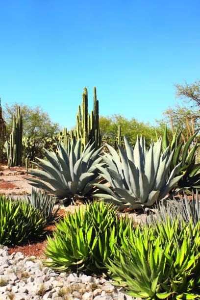 jardín de cactus, agaves y suculentas, tula de allende, méxico - mezcal fotografías e imágenes de stock