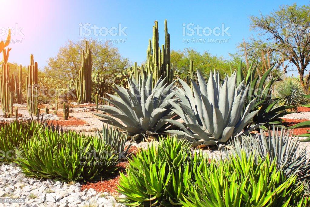 Garden of cacti, agaves and succulents,Tula de Allende, Mexico stock photo
