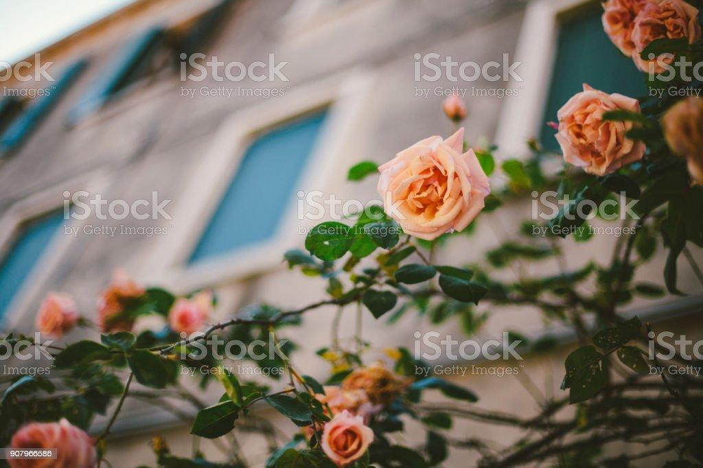 1f1fd5734 Rosas do jardim de rasteira rosa numa rua em Veneza, Itália. foto de stock