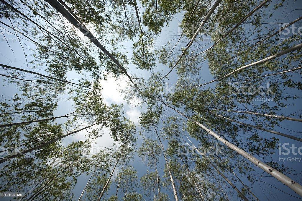 garden of eucalyptus royalty-free stock photo