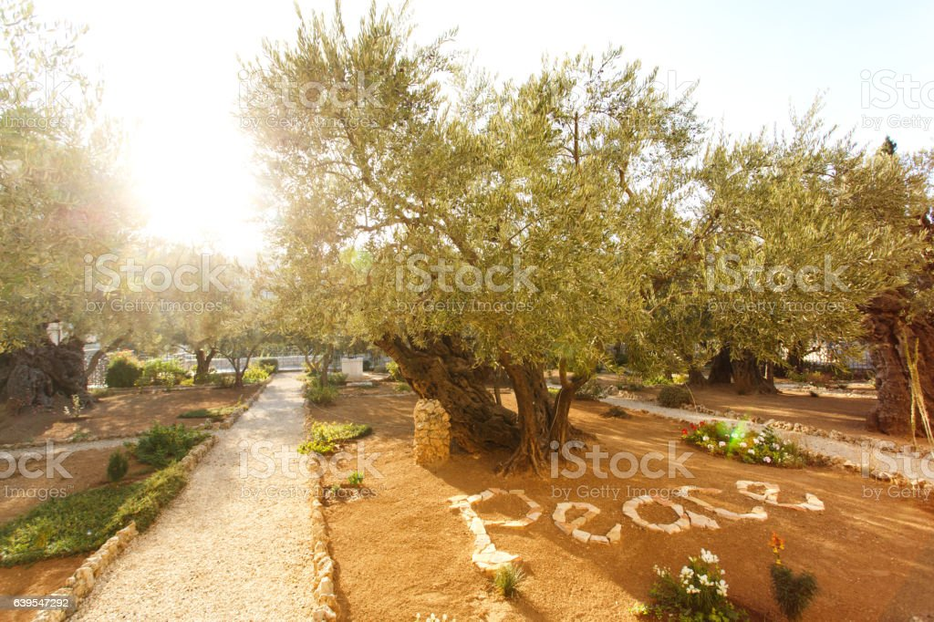 Garden of Gethsemane, famous historic place stock photo
